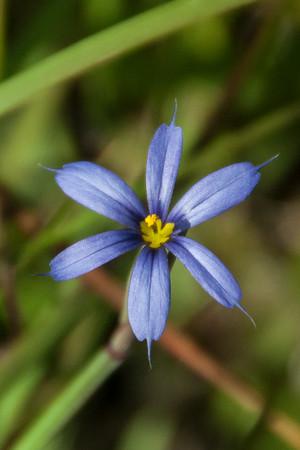 Grass - Blue-eyed - Bailey Tract - Sanibel Island, FL