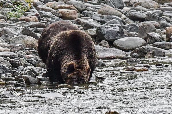 9-23-17 **Bella Coola - Large Female Grizzly