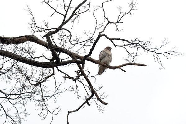 Red-tailed Hawk in Williamstown - 011221