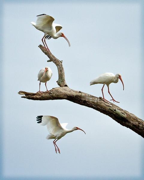 IBIS in TREE B BAR - FLORIDA - NOVEMBER 2010