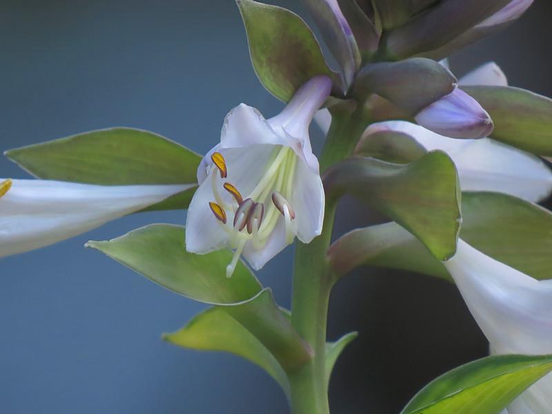 sx50_hosta_blossoms_flora_340.jpg
