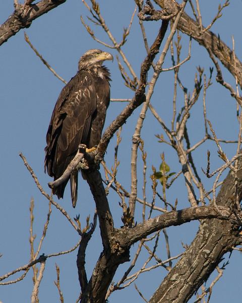 Bald Eagle  Juvenile -- near Dyke Marsh along GW Parkway in Alexandria, VA