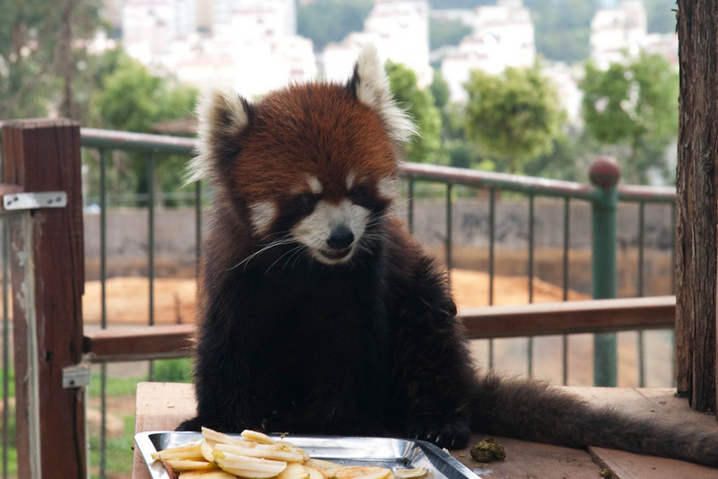 Red panda, only found in Yunan province and another one in china.  He sure is cute.