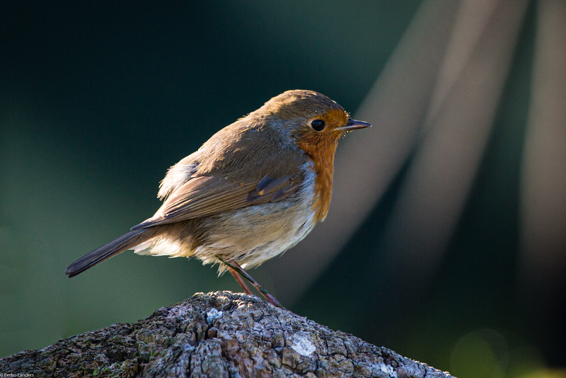 Robin 01.jpg