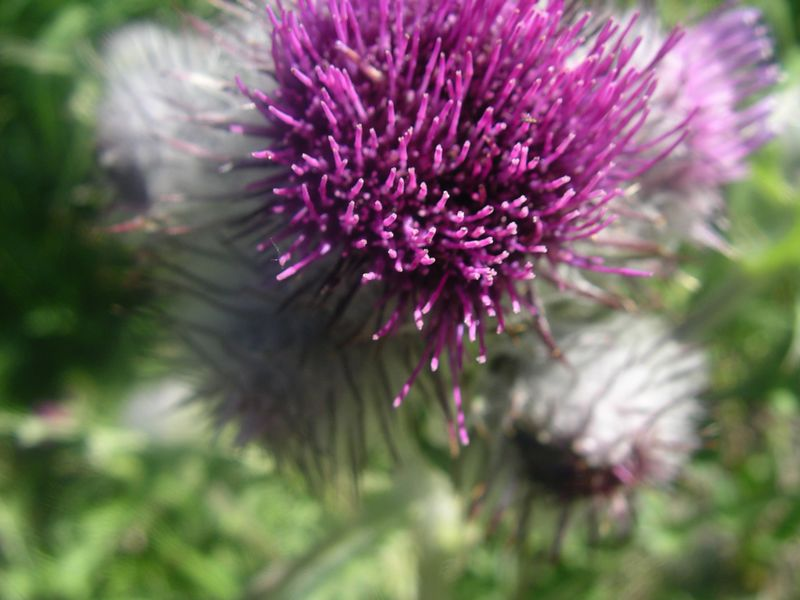 Thistle with pink bristles.