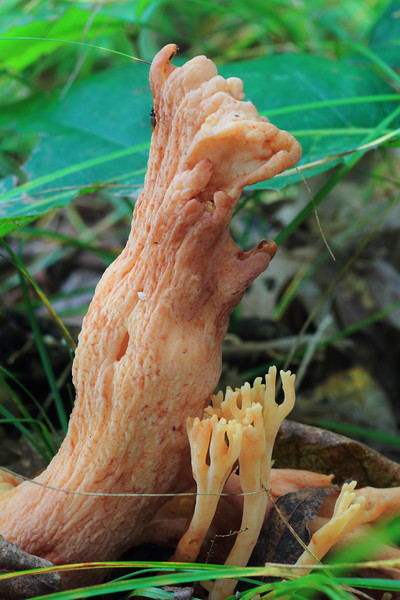 Coral Mushrooms- Grams Regional Park