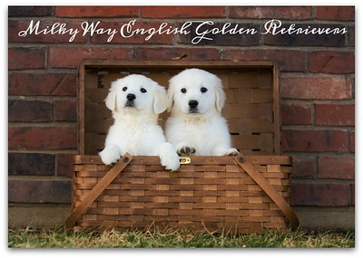 Milky Way's English Golden Retrievers
