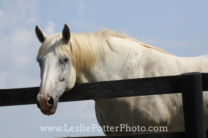 Gray Horse Looking Over a Fence