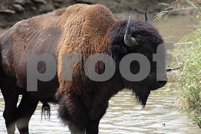 where-the-buffalo-roamed
