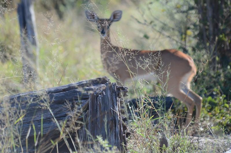 85 - Greater Kudu female - Chitabe - Anne Davis