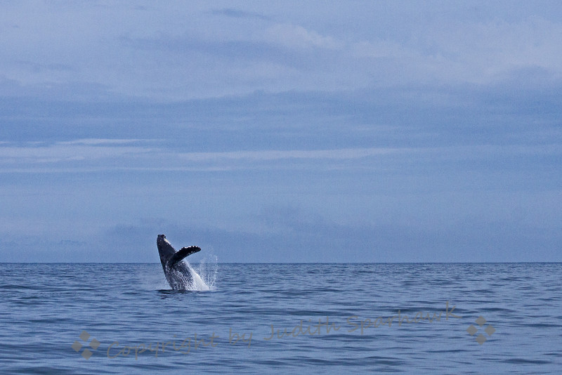 Breaching Humpbacked Whale