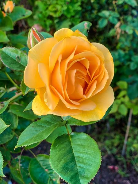 Sidewalk Rose on Geary