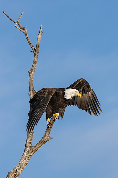 Shady Oak Eagle #9