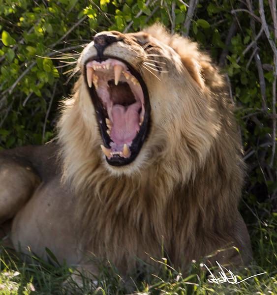 Lions Etosha-S-3.jpg