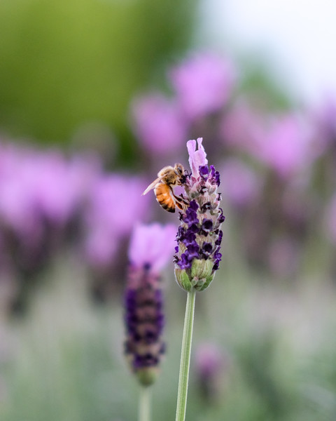 bee-on-lavender.jpg