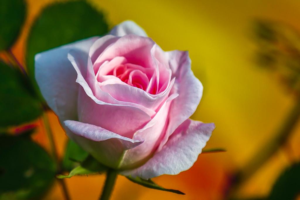 玫瑰花,无声胜有声