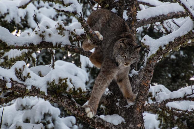 4131-Lynx-©Yvonne Carter.jpg