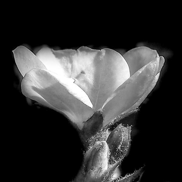March 24 - Black and white flower.jpg
