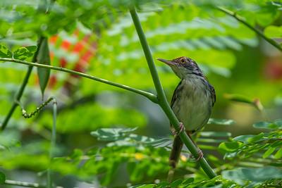 Common Tailorbird [Orthotomus sutorius]