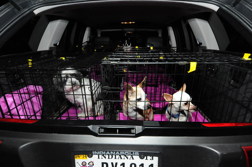 . Every Dog Counts Rescue dogs, from left, Chloe, Tanner and Frito wait for their transport vehicle to leave Indianapolis around 7 a.m. on Saturday, Feb. 9, 2013. (Pioneer Press: Sherri LaRose-Chiglo)