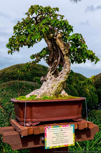 Bonsai Tree<br /> Bonsai - Bougainvillea glabra by Erik Wigert - Flower & Garden Festival 2012 - Epcot
