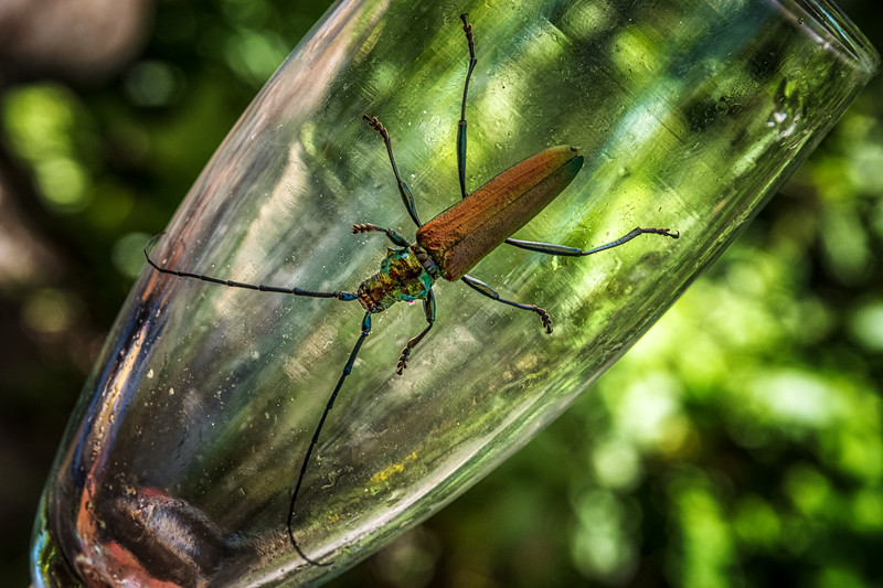 Moschusbock / Musk beetle (Aromia moschata)