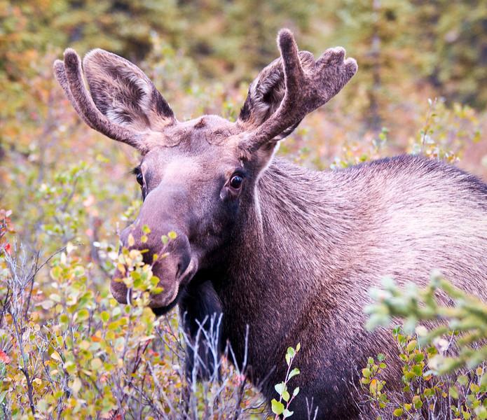 Juvenile Alaskan Moose Denali National Park & Preserve Denali, Alaska © 2009