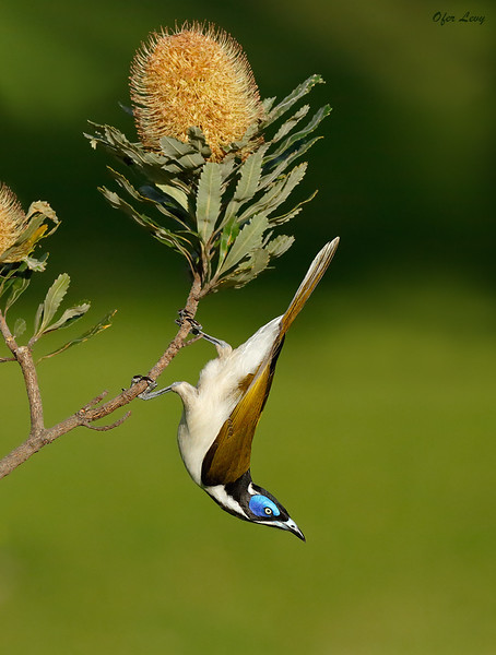 Blue-faced Honeyeater.jpg