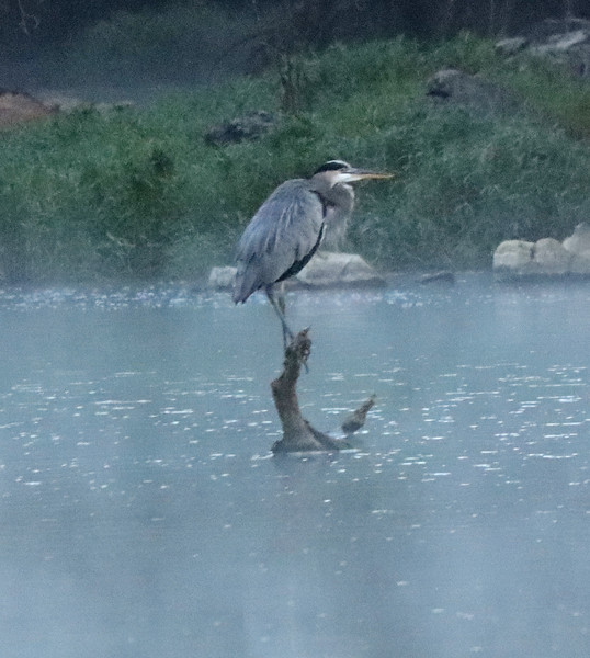 Great blue heron on branch 3
