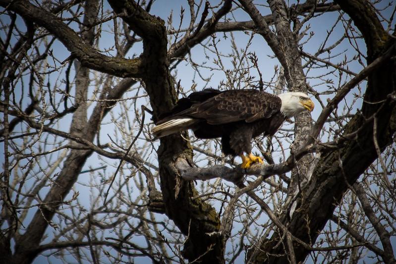 Eagle eating-7017.jpg