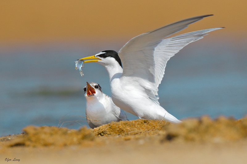 Little Tern feeding MASTER.jpg