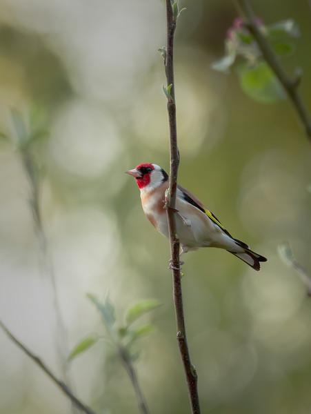 2020 - Goldfinch (April) 004