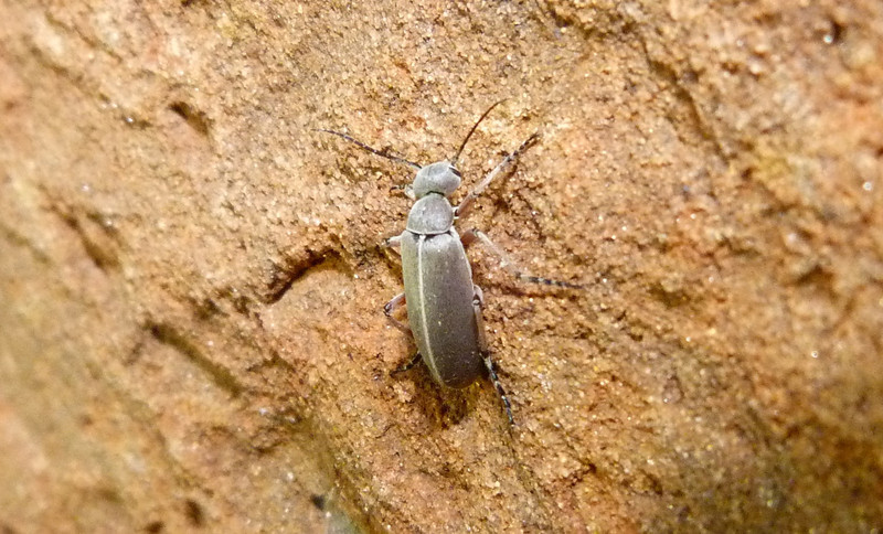 P116EpicautaNigritarsisBlisterBtl266 Sept. 6, 2012  7:18 a.m.  P1160266 This is a Blister Beetle, Epicauta nigritarsis, at LBJ WC.
