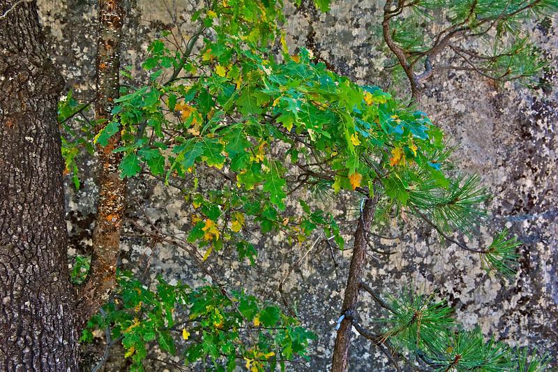 Oak and Granite, Kings Canyon National Park, California