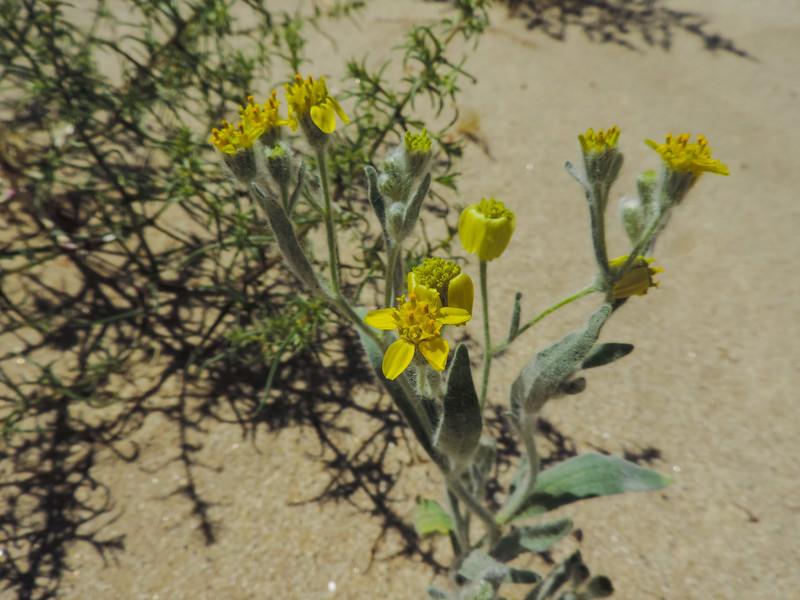Laxflower (Baileya pauciradiata) ASTERACEAE