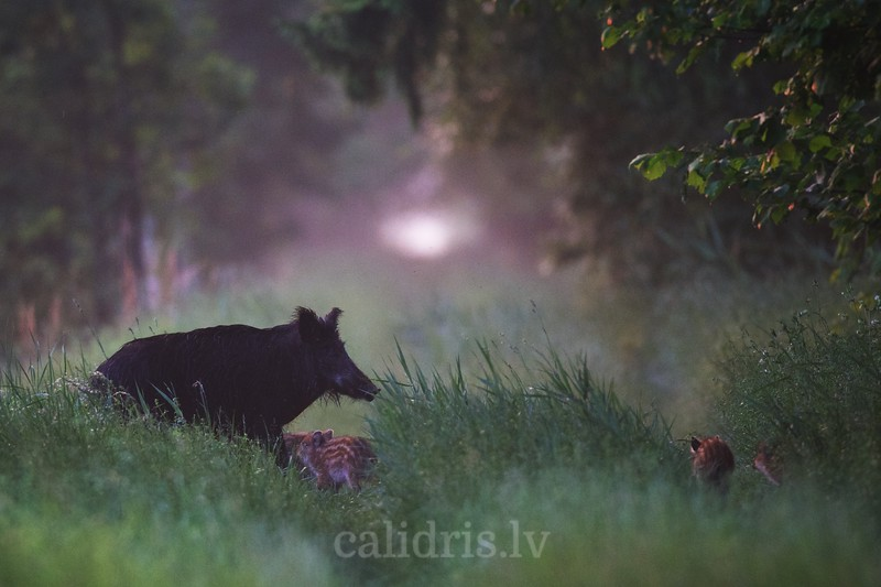 A female wild boar watches as young piglets pass forest road