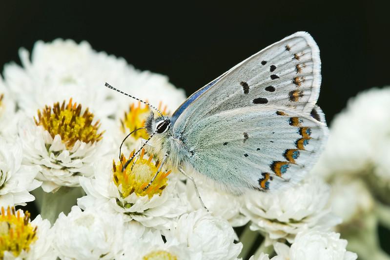 Anna's Blue Butterfly