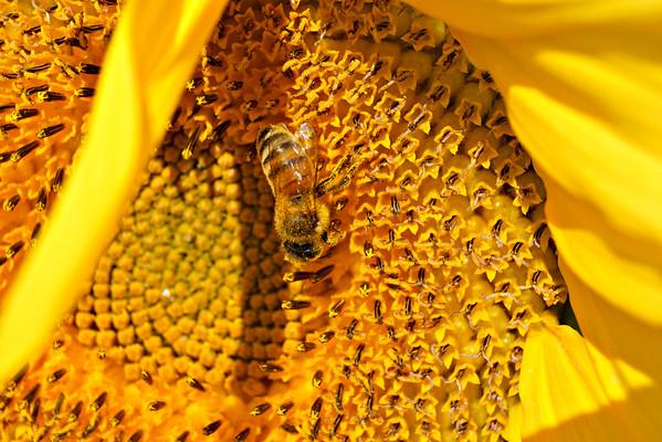 Longwood Sunflowers