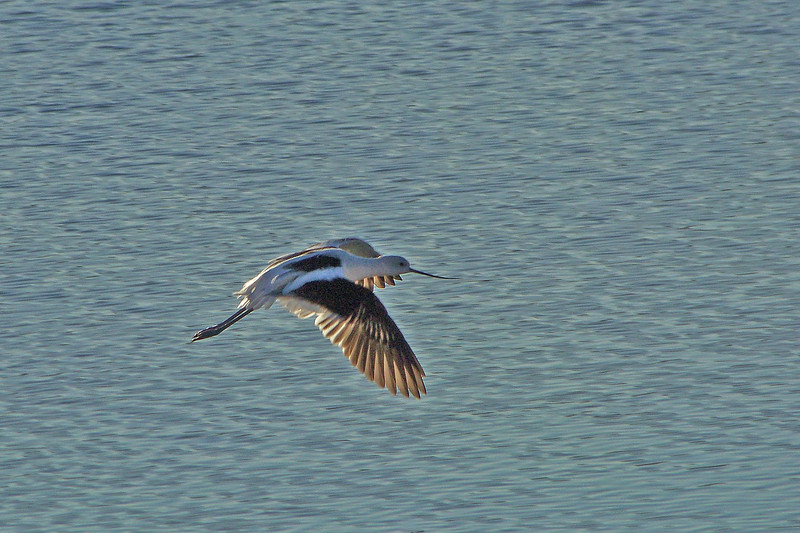 Sunset Flight Avocet   Las Gallinas