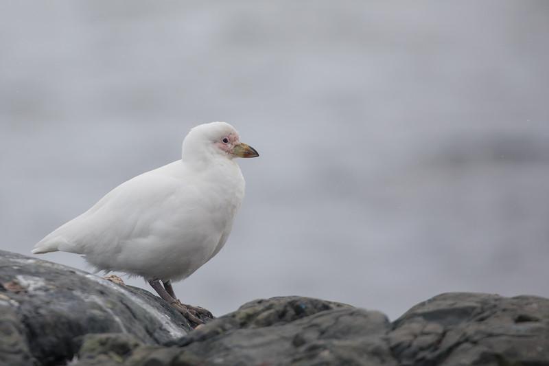 Snowy Sheathbill - Antarctica