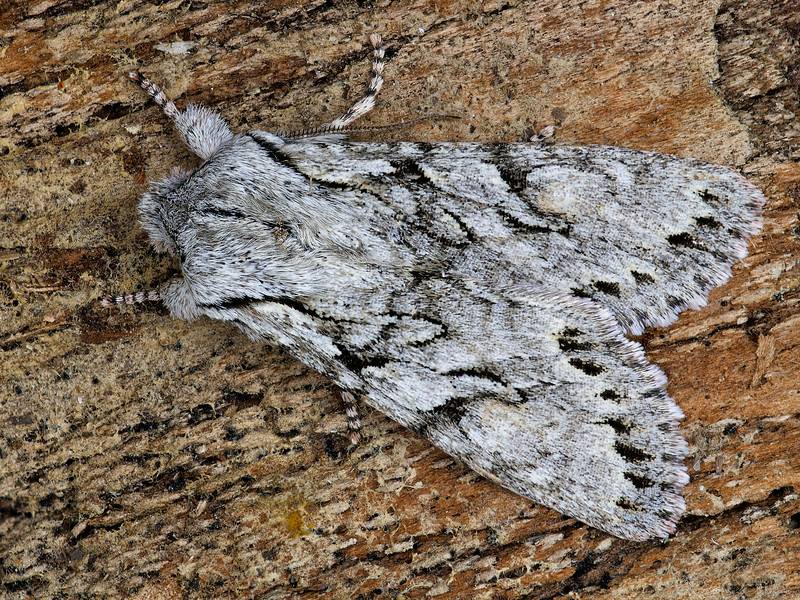 Crucial Woodling Moth