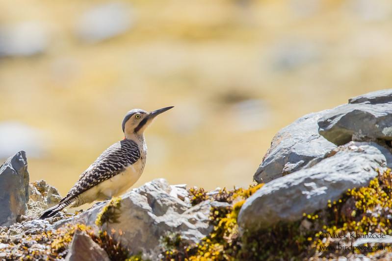 Andean Flicker - Record - Highlands above Ollantaytambo, Peru