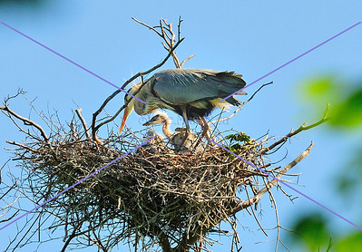 GBH Babies in Nests