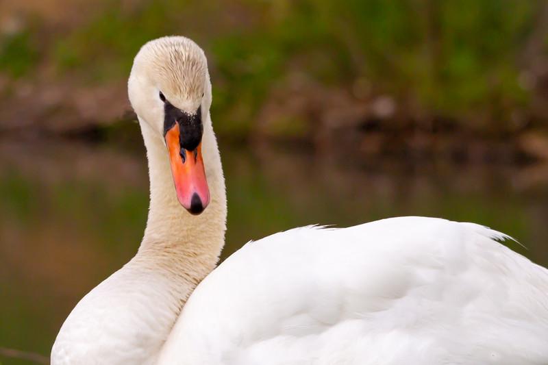 mute swan_-24.JPG