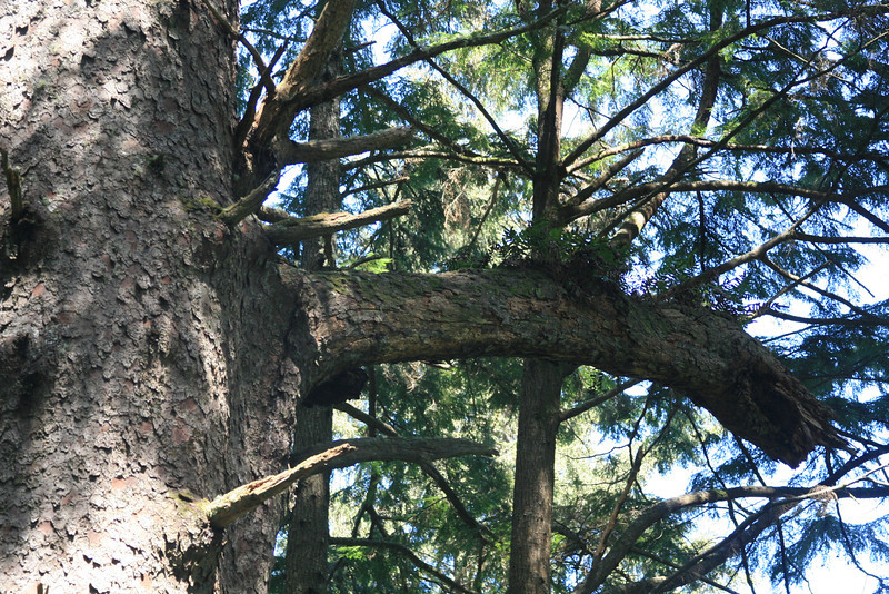 A single branch on the old growth tree is bigger than the standing new growth.