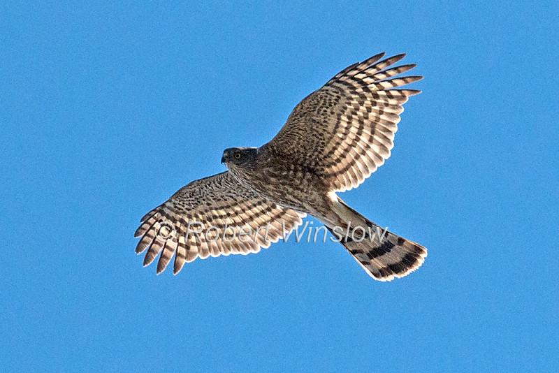 Cooper's Hawk, Accipiter cooperii,  Flying, La Plata County, Colorado, USA, North America