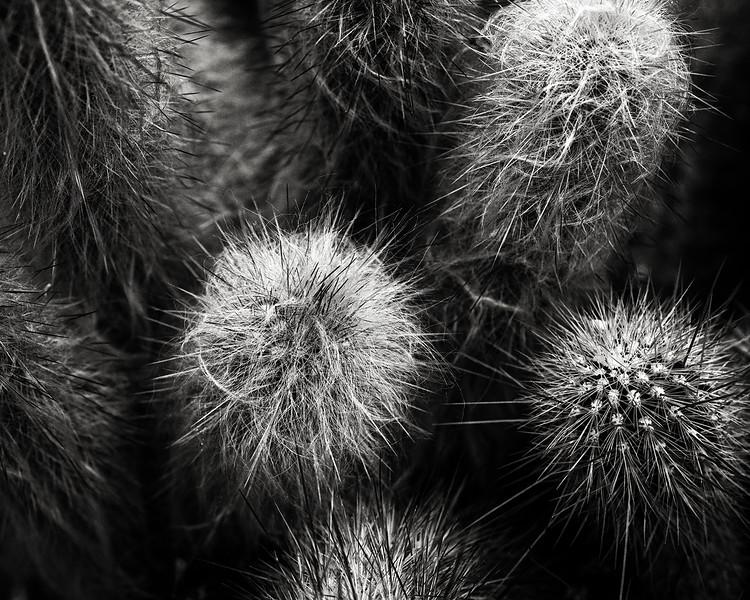 bearded cactus