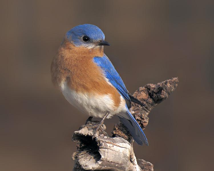 sx50_bluebird_ben_boas_dpp_cr2_059.jpg