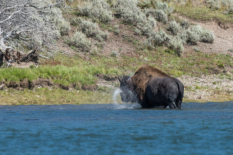 Bison-in-water-4.jpg