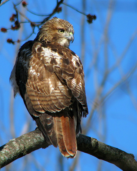 red_tailed_hawk_1466-1.jpg